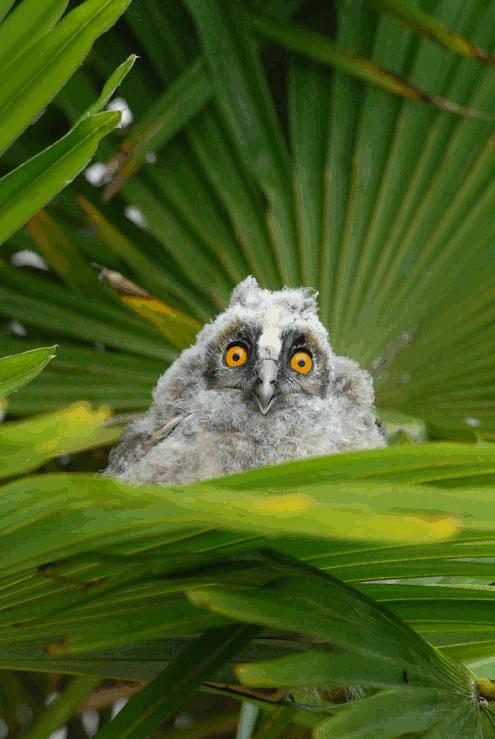 petite hulotte tombée du nid